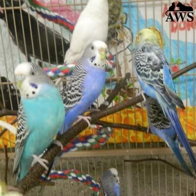 Budgies | Animal Welfare Society